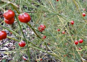 Спаржа высокое травянистое многолетнее растение из семейства линейных.
