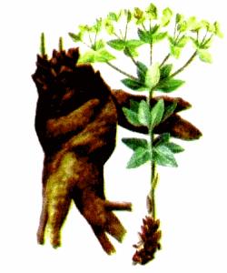 Молочай Палласа, из семейства молочайных, травянистое многолетнее растение, в народе называемый мужик - корень, имеющий уникальные целебные свойства, это одно из ценных лекарственных растений.