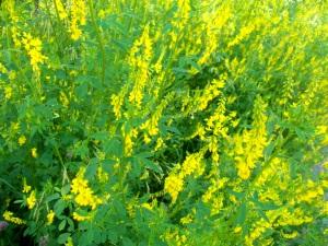 Донник лекарственный из семейства бобовых травянистое двулетнее растение.
