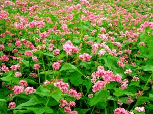 Гречиха посевная, семейство гречишных, травянистое однолетнее растение, высотой до 70 сантиметров.