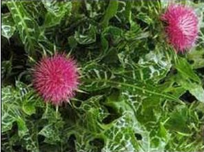 Расторопша пятнистая из семейства астровых колючее однолетнее или двулетнее травянистое, сложноцветное растение.