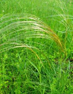 Ковыль перистый многолетнее, травянистое, дерновинное растение из семейства злаков или мятликов,  высотой до 100 сантиметров.