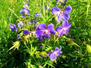 Герань луговая, семейства гераниевых, растение многолетник, имеющее разные народные названия (голубиный цвет, журавельник, маточник и другие).