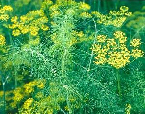 Укроп душистый всем знакомое огородное растение, которое в России занимает первое место по популярности среди пряноароматических трав.