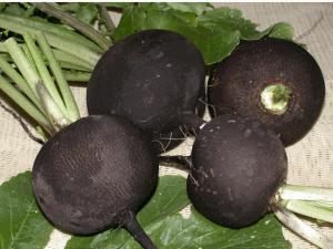 Полезные свойства черной редьки известны с глубокой древности, которые использовались при лечении людей.