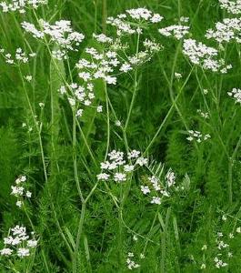 Тмин широко известное двулетнее травянистое растение из семейства сельдерейных (зонтичные) со специфическим запахом.