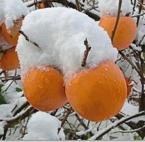 Хурма высокое до 40 метров крупное субтропического и тропического рода дерево из семейства эбеновых с  мясистыми оранжевыми плодами - ягодами, вид рода хурма