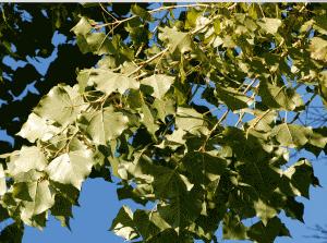 Тополь черный или осокарь высокое до 60 метров листопадное, двудомное дерево из семейства ивовых.