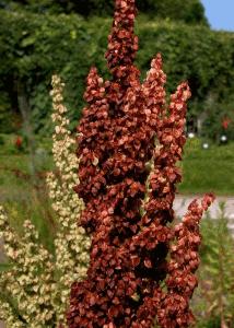 Щавель конский травянистое многолетнее, высокое до 1.5 метра растение из семейства гречишных.