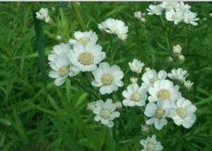 Чихотная трава из семейства астровых многолетнее травянистое растение рода тысячелистников, получившая свое смешное название из-за способности возбуждать чихание.