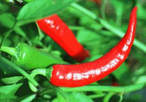 Перец жгучий или стручковый различается двумя культурами - овощной сладкий и пряный острый,  относящиеся к одному семейству.