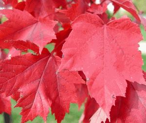 Клен остролистный или платановидный листопадное дерево высотой до 30 метров  семейства кленовых.