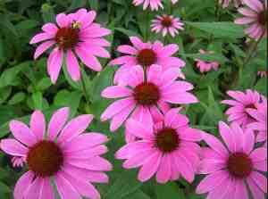 Эхиноцея пурпурная красивое травянистое растение со стимулирующим  антибиотическим действием на иммунную систему.